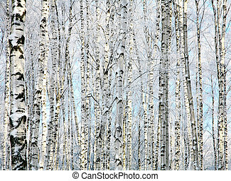 Winter trunks of birch trees