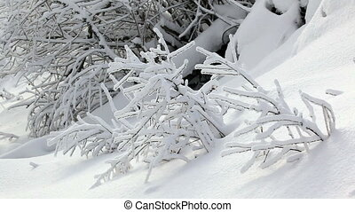 winter twigs - small plants twigs covered by snow in time...