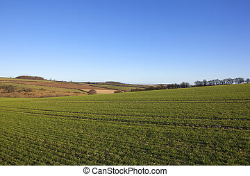 winter wheat and hedgerows - winter wheat crop on a hilltop...