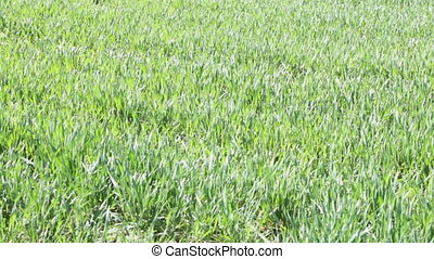 winter wheat field in spring