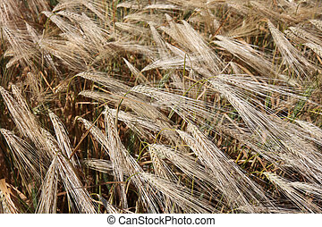Winter wheat field - Ripening winter wheat