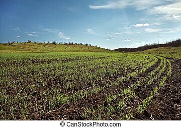 winter wheat field