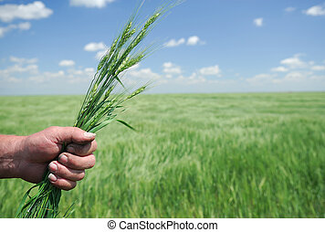 Winter Wheat in Hand of Farmer - Working Farmer Hands hold ...