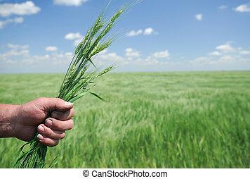 Winter Wheat in Hand of Farmer
