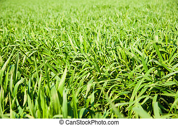 Winter wheat seedlings close-up in the spring on a sunny day