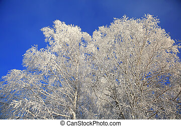 Winter white trees on background of the blue sky