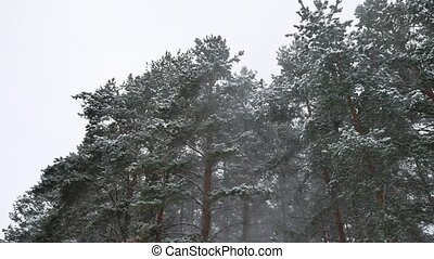 Winter wind storm forest nature snowing pine forest with snow landscape winter beautiful christmas tree background