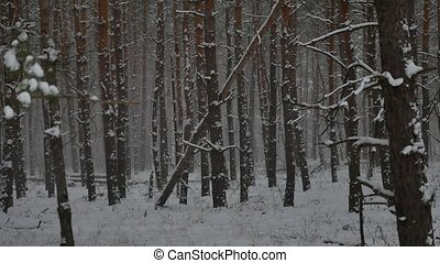 Winter wind storm forest nature snowing pine forest with winter snow landscape beautiful christmas tree background