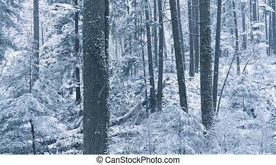 Winter Woodland With Snow Falling - Pretty winter scene of...