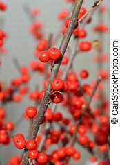 winterberry, común
