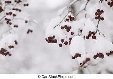 winterberry, nieve, rojo