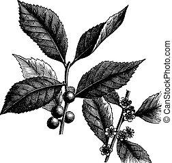 winterberry, verticillata, ilex, o, grabado, norteamericano...