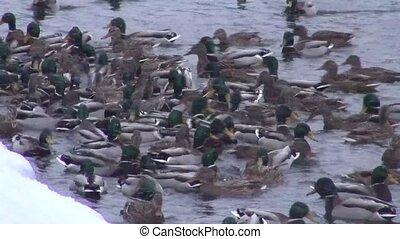 Wintering ducks feed in unfrozen pond, snow, day, winter