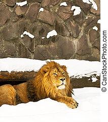 wintering lion