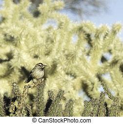 winterkoninkje, cactus, scottsdale, arizona