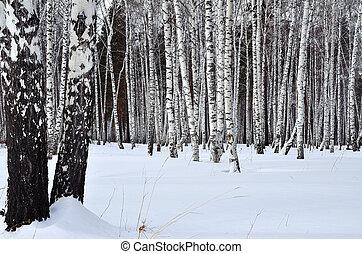 winterlandschaft, in, a, birke, hain