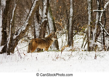 A coyote crosses  the edge of a snow covered forest while on a winter journey.