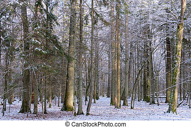 Wintertime landscape of snowy deciduous stand
