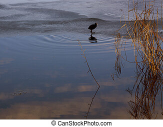 Wintertime, wild duck on the iced edge of lake surface with sky reflection on water at dusk