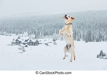 Wintertime with dog in nature. Yellow labrador retriever playing in the snow.