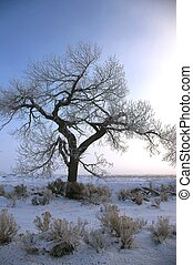 Wintery Cottonwood