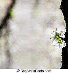 wiosna, śliwka, kwiaty, tło