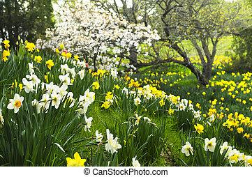 wiosna, żonkile, park, rozkwiecony
