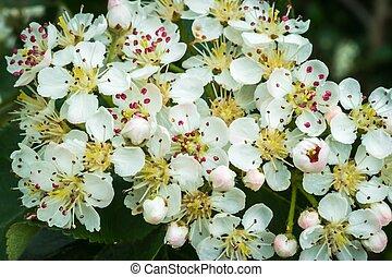 wiosna, fotografia, białe kwiecie, ogród