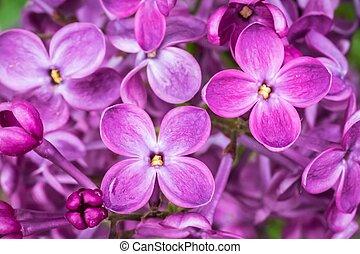 wiosna, fotografia, kwiaty, ogród, bez