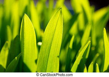 wiosna, leaves., zielone tło, świeży, trawa