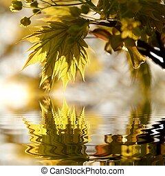 wiosna, liście, klon