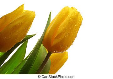 wiosna, trzy, żółty, tulipany