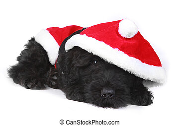 Tired Black Russian Terrier Puppy in Santa Suit