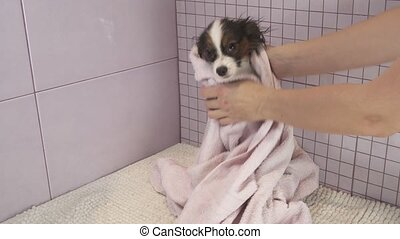 Wiping dog with a towel after bathing Continental Toy Spaniel Papillon stock footage video