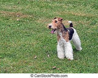 Wire hair fox terrier in park. - Pure bred.