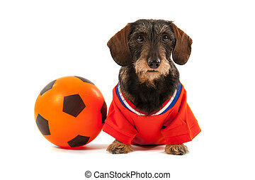 Wire haired dachshund as sports fan