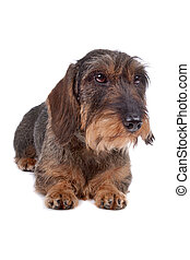 Wire haired Dachshund dog lying on front, isolated on a white background