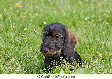 wire-haired dog - puppy front view grasland