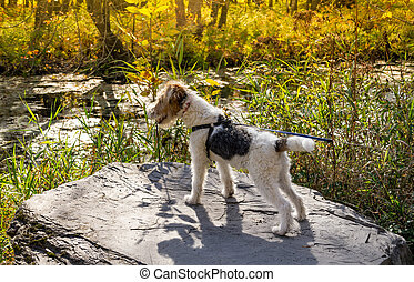 wire haired fox terrier standing on a rock
