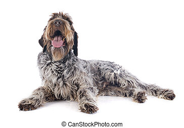 Wire haired Pointing Griffon in front of white background