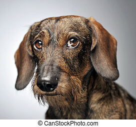 wired hair dachshund portait in gray studio