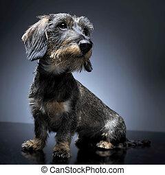 wired hair dachshund sitting in studio