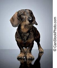 wired hair dachshund standing in dark studio