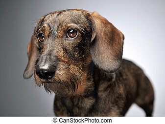 wired hair dachshund standing in dark studio - wired hair...