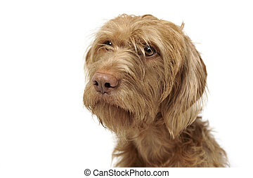 wired hair hungarian vizsla portrait in a white photo studio