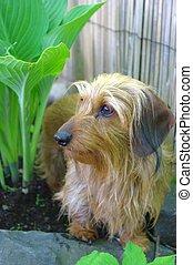 Miniature wirehair dachshund in the garden by the hostas