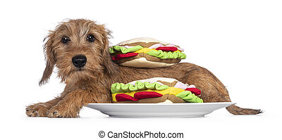 Adorable Wirehair Kanninchen Dachshund pup, laying down side ways on plate inbetween toy sandwiches. Looking straight at camera with dark shiny eyes. Isolated on white background.