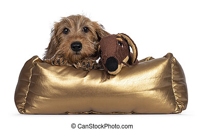 Adorable Wirehair Kanninchen Dachshund pup, laying over edge of golden basket with fake fur toy friend. Looking straight at camera with dark shiny eyes. Isolated on white background.