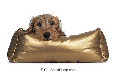 Adorable Wirehair Kanninchen Dachshund pup, laying over edge of golden basket. Looking straight at camera with dark shiny eyes. Isolated on white background.