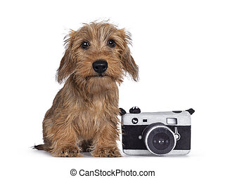 Adorable Wirehair Kanninchen Dachshund pup, sitting beside toy photo camera. Looking straight at camera with dark shiny eyes. Isolated on white background.